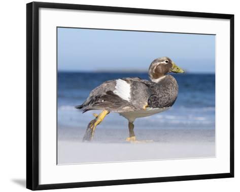 Falkland Flightless Steamer Duck. Male and Female. Falkland Islands-Martin Zwick-Framed Art Print