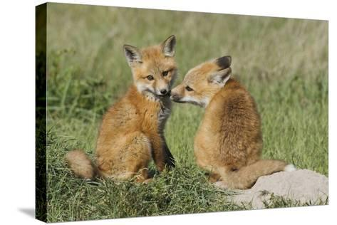 Red Fox Kits Playing-Ken Archer-Stretched Canvas Print