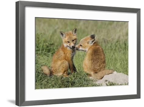 Red Fox Kits Playing-Ken Archer-Framed Art Print