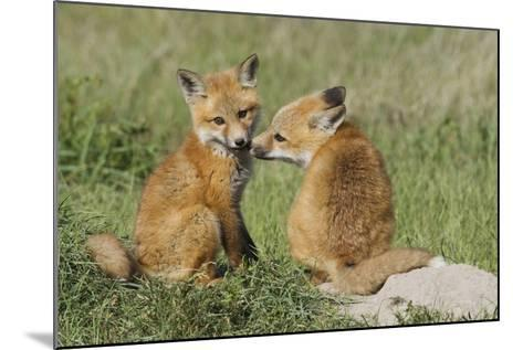 Red Fox Kits Playing-Ken Archer-Mounted Photographic Print