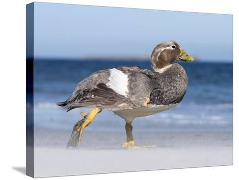 Falkland Flightless Steamer Duck. Male and Female. Falkland Islands-Martin Zwick-Stretched Canvas Print