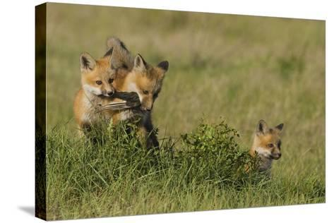 Red Fox Kits Playing with Bird Wing-Ken Archer-Stretched Canvas Print