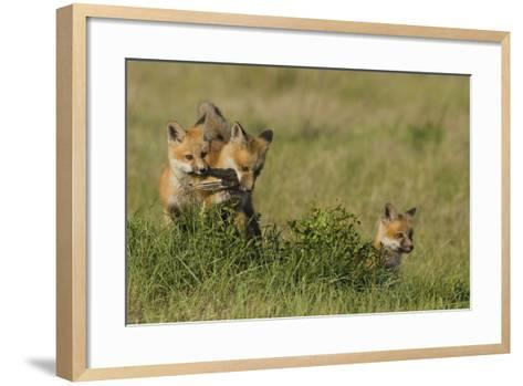 Red Fox Kits Playing with Bird Wing-Ken Archer-Framed Art Print