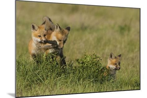 Red Fox Kits Playing with Bird Wing-Ken Archer-Mounted Photographic Print
