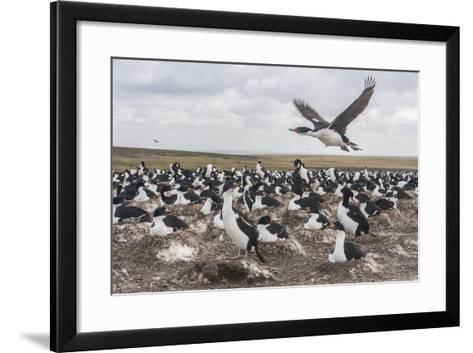 Falkland Islands, Bleaker Island. Imperial Shag Nesting Colony-Cathy & Gordon Illg-Framed Art Print