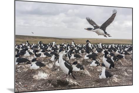 Falkland Islands, Bleaker Island. Imperial Shag Nesting Colony-Cathy & Gordon Illg-Mounted Photographic Print