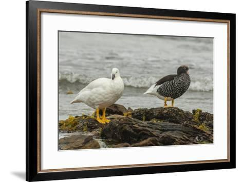 Falkland Islands, Carcass Island. Pair of Kelp Geese-Cathy & Gordon Illg-Framed Art Print