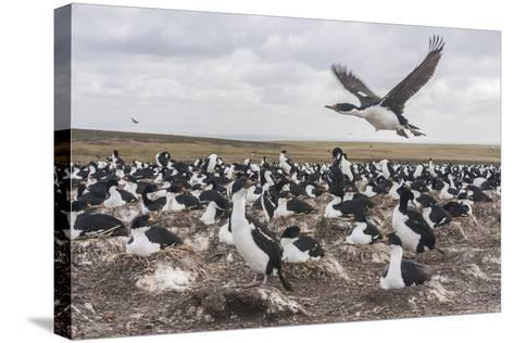 Falkland Islands, Bleaker Island. Imperial Shag Nesting Colony-Cathy & Gordon Illg-Stretched Canvas Print