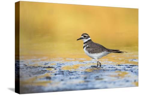 Wyoming, Sublette Co, Killdeer in Mudflat with Gold Reflected Water-Elizabeth Boehm-Stretched Canvas Print