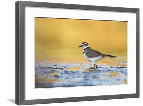 Wyoming, Sublette Co, Killdeer in Mudflat with Gold Reflected Water-Elizabeth Boehm-Framed Art Print