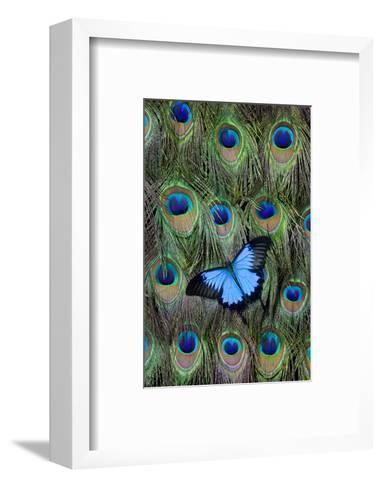 Blue Mountain Swallowtail Butterfly on Peacock Tail Feather Design-Darrell Gulin-Framed Art Print