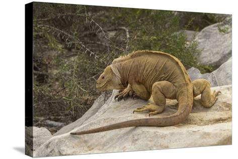 Ecuador, Galapagos National Park. Land Iguana on Boulder-Cathy & Gordon Illg-Stretched Canvas Print