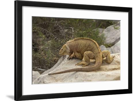 Ecuador, Galapagos National Park. Land Iguana on Boulder-Cathy & Gordon Illg-Framed Art Print
