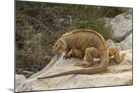 Ecuador, Galapagos National Park. Land Iguana on Boulder-Cathy & Gordon Illg-Mounted Photographic Print