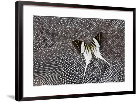 Graphium Butterfly on Helmeted Guineafowl-Darrell Gulin-Framed Art Print