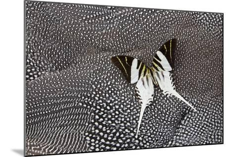 Graphium Butterfly on Helmeted Guineafowl-Darrell Gulin-Mounted Photographic Print