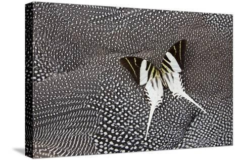 Graphium Butterfly on Helmeted Guineafowl-Darrell Gulin-Stretched Canvas Print