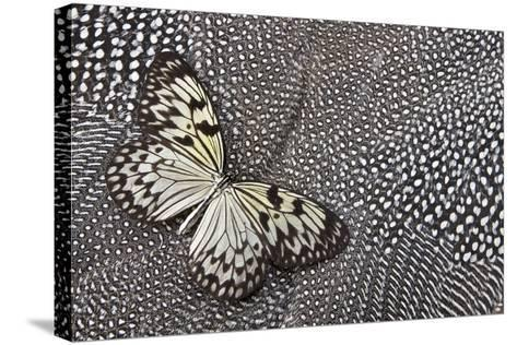 Paper Kite Tropical Butterfly on Helmeted Guineafowl-Darrell Gulin-Stretched Canvas Print