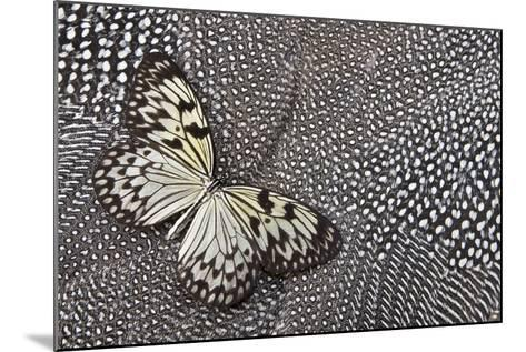 Paper Kite Tropical Butterfly on Helmeted Guineafowl-Darrell Gulin-Mounted Photographic Print