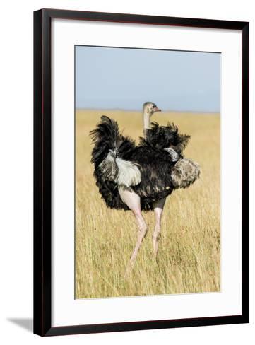 Kenya, Maasai Mara, Mara Triangle, Mara River Basin, Masai Ostrich-Alison Jones-Framed Art Print
