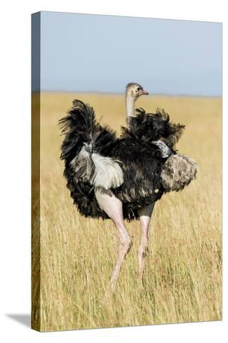 Kenya, Maasai Mara, Mara Triangle, Mara River Basin, Masai Ostrich-Alison Jones-Stretched Canvas Print
