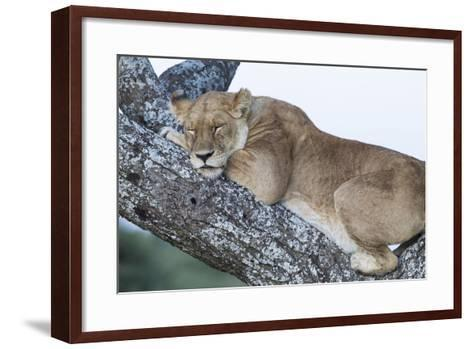 Female Lion Sleeping in Acacia Tree in Jungle, Ngorongoro, Tanzania-James Heupel-Framed Art Print