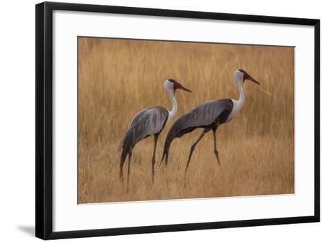 Okavango, Botswana. A Pair of Wattled Cranes Walk in Golden Grass-Janet Muir-Framed Art Print