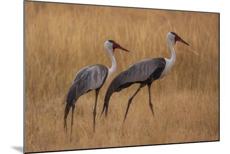 Okavango, Botswana. A Pair of Wattled Cranes Walk in Golden Grass-Janet Muir-Mounted Photographic Print