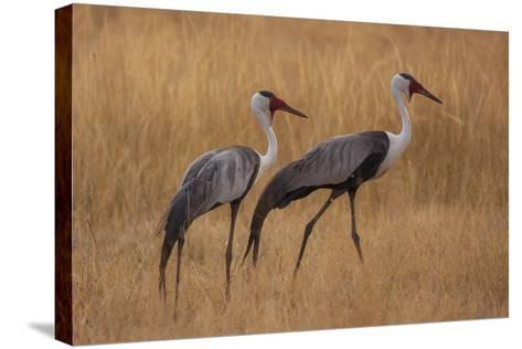 Okavango, Botswana. A Pair of Wattled Cranes Walk in Golden Grass-Janet Muir-Stretched Canvas Print
