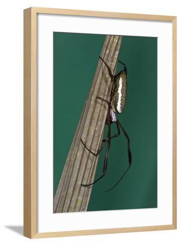 Golden Silk Spider, Yasuni NP, Amazon Rainforest, Ecuador-Pete Oxford-Framed Art Print