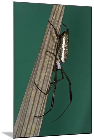 Golden Silk Spider, Yasuni NP, Amazon Rainforest, Ecuador-Pete Oxford-Mounted Photographic Print