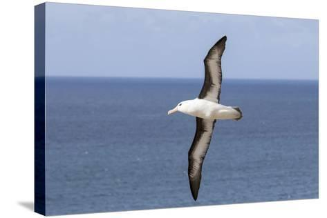 Black-Browed Albatross or Mollymawk, Flight Shot. Falkland Islands-Martin Zwick-Stretched Canvas Print