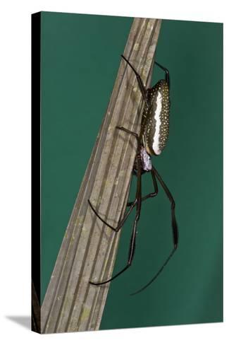 Golden Silk Spider, Yasuni NP, Amazon Rainforest, Ecuador-Pete Oxford-Stretched Canvas Print