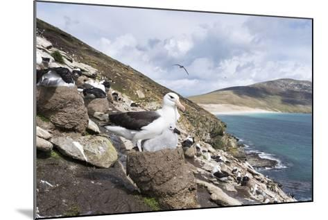 Black-Browed Albatross or Mollymawk, Colony. Falkland Islands-Martin Zwick-Mounted Photographic Print