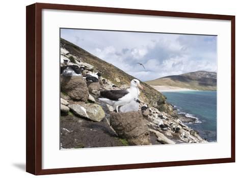 Black-Browed Albatross or Mollymawk, Colony. Falkland Islands-Martin Zwick-Framed Art Print