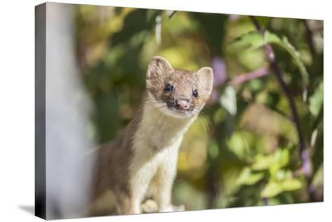 USA, Wyoming, Sublette County, Long-Tailed Weasel-Elizabeth Boehm-Stretched Canvas Print