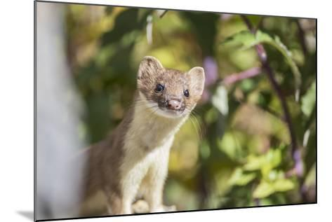 USA, Wyoming, Sublette County, Long-Tailed Weasel-Elizabeth Boehm-Mounted Photographic Print