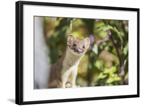 USA, Wyoming, Sublette County, Long-Tailed Weasel-Elizabeth Boehm-Framed Art Print