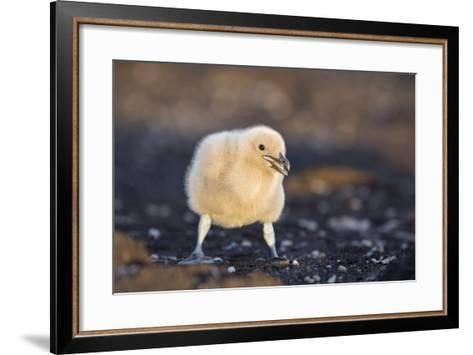 Falkland or Brown Skua or Subantarctic Skua Chick. Falkland Islands-Martin Zwick-Framed Art Print