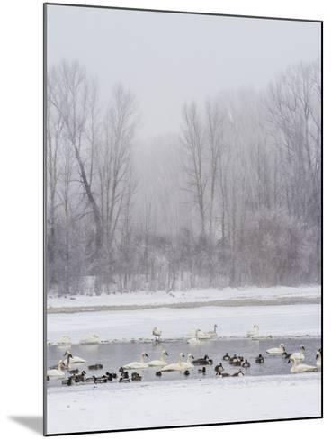 Geese, Swans and Ducks at Pond Near Jackson, Wyoming-Howie Garber-Mounted Photographic Print