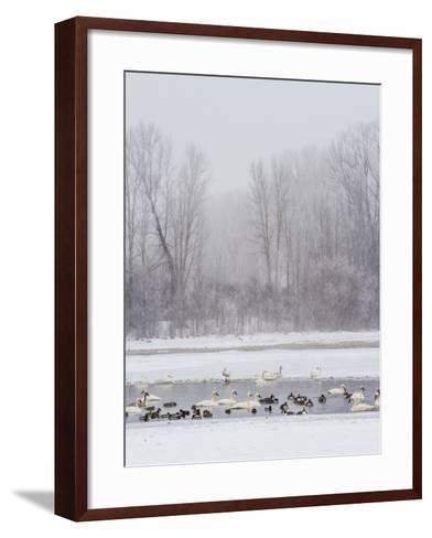 Geese, Swans and Ducks at Pond Near Jackson, Wyoming-Howie Garber-Framed Art Print