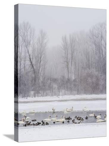 Geese, Swans and Ducks at Pond Near Jackson, Wyoming-Howie Garber-Stretched Canvas Print