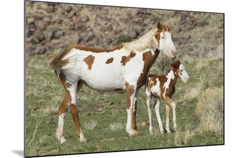 Wild Horse, Steens Mountains, Mare with Colt-Ken Archer-Mounted Photographic Print