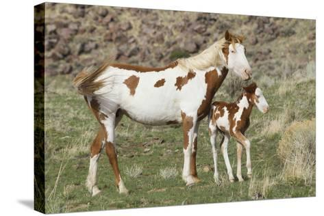 Wild Horse, Steens Mountains, Mare with Colt-Ken Archer-Stretched Canvas Print