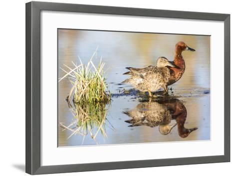 Wyoming, Sublette, Cinnamon Teal Pair Standing in Pond with Reflection-Elizabeth Boehm-Framed Art Print