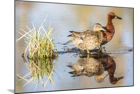 Wyoming, Sublette, Cinnamon Teal Pair Standing in Pond with Reflection-Elizabeth Boehm-Mounted Photographic Print