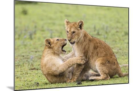 Two Lion Cubs Play, Ngorongoro, Tanzania-James Heupel-Mounted Photographic Print