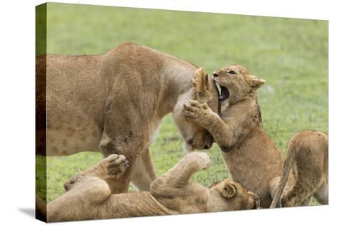 Lion Cub Attempts to Bite the Head of a Lioness, Ngorongoro, Tanzania-James Heupel-Stretched Canvas Print