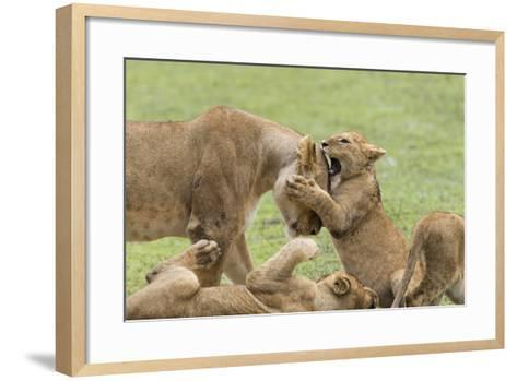 Lion Cub Attempts to Bite the Head of a Lioness, Ngorongoro, Tanzania-James Heupel-Framed Art Print