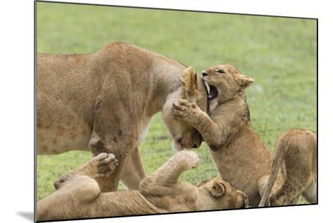 Lion Cub Attempts to Bite the Head of a Lioness, Ngorongoro, Tanzania-James Heupel-Mounted Photographic Print